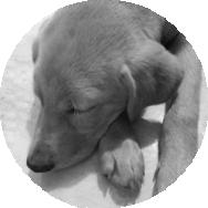 Joe, o Labrador